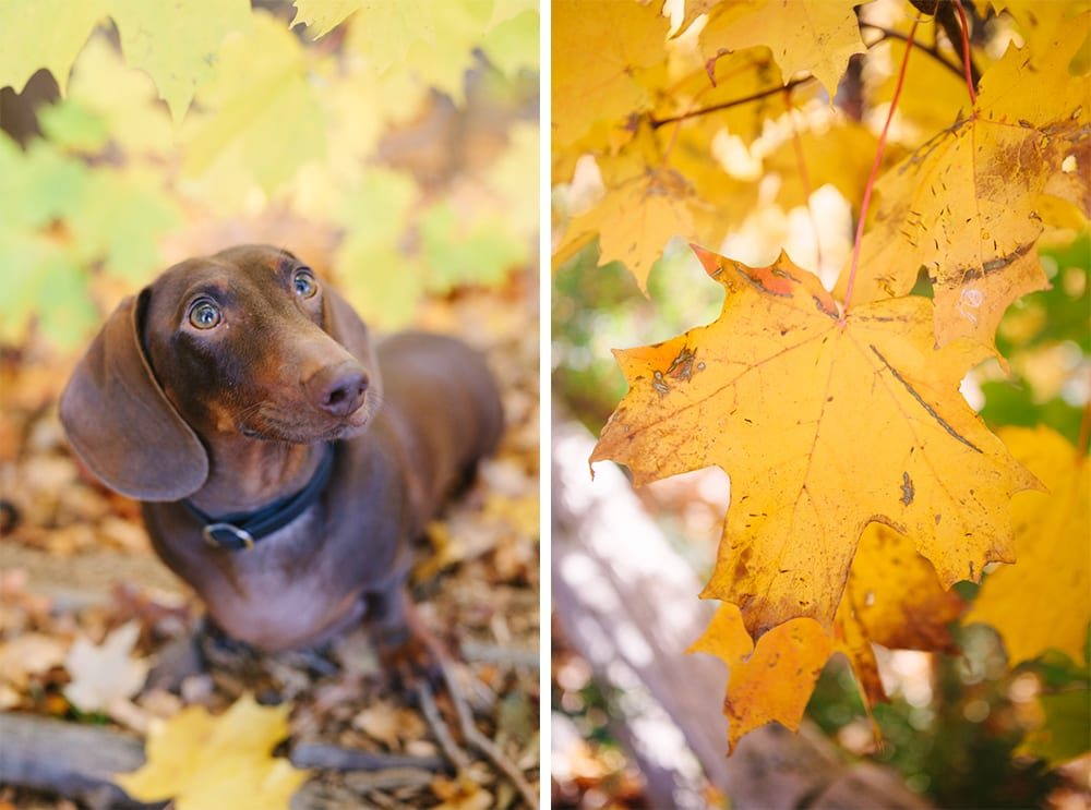 Leaves-Dog-Engagement-Zsuzsi-Pal-Photography