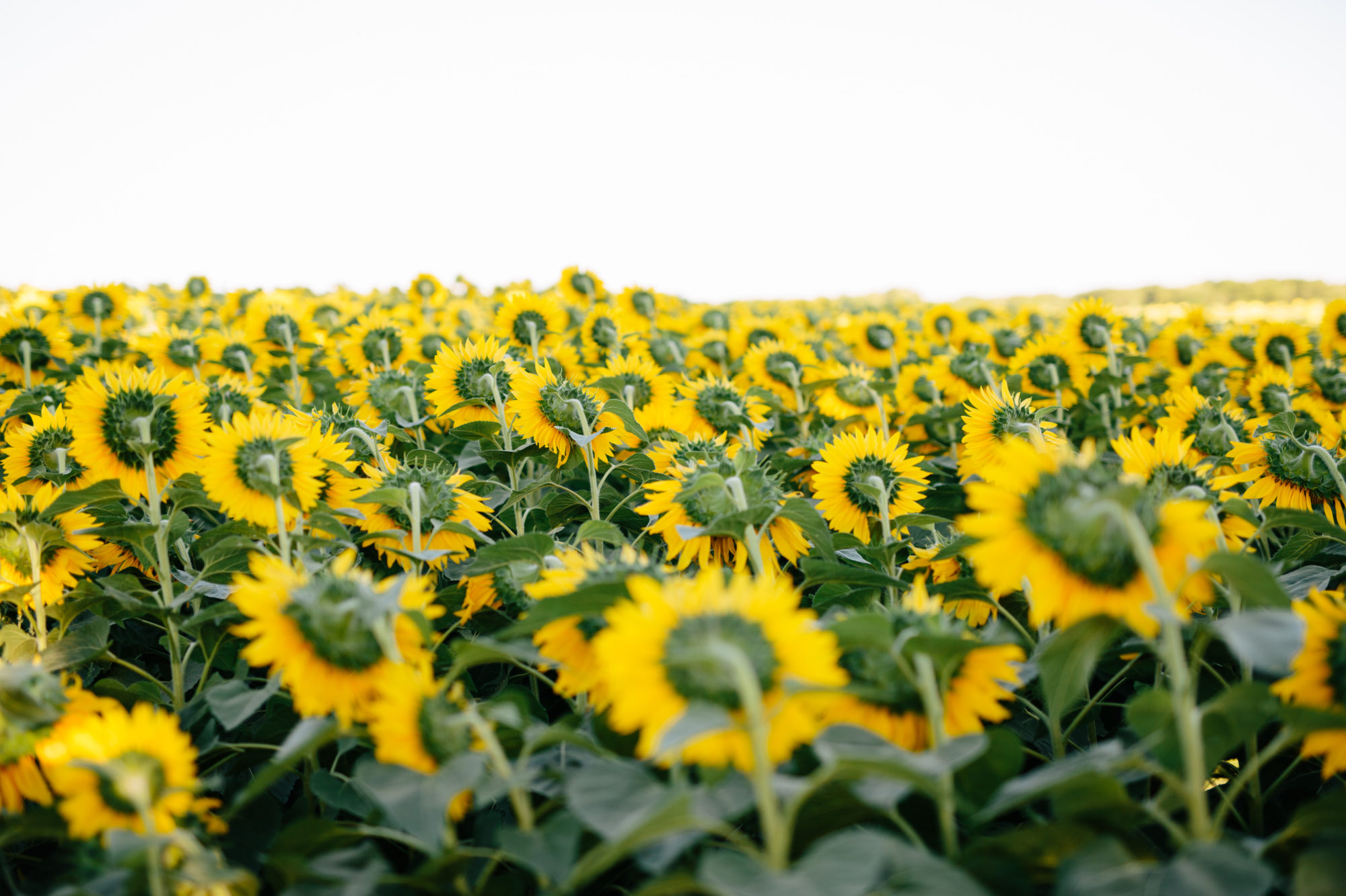 Sunflower Field Toronto Wedding Zsuzsi Pal Photography